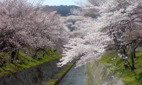 Sakura=i-ciliegi.jpg